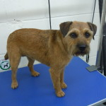 Dog Gallery - Border Terrier dog grooming