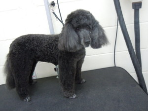 Dog Gallery - Minature Poodle Dog Grooming
