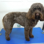 Dog Gallery - Spaniel Dog Grooming