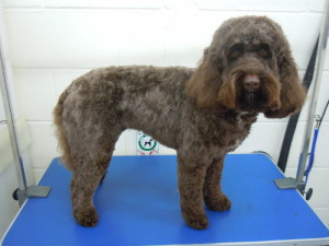Dog Gallery - Spaniel Dog Grooming