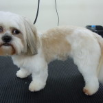 Dog Gallery - Toy Dog Grooming